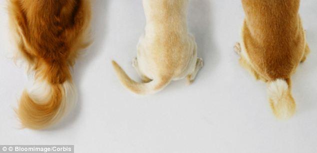 mover la cola, comportamiento canino