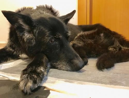 Convivir con un perro Senior: El síndrome de disfunción cognitiva canino